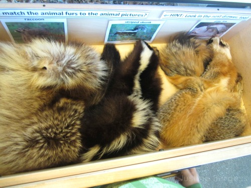 match animal furs at Environmental Nature Center, Newport Beach