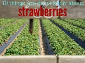 10-strawberry-facts