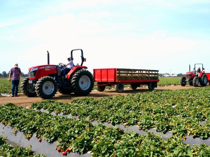 Terry Farms grow strawberries // livingmividaloca.com #JustAddStrawberries