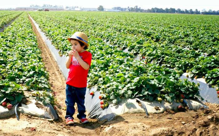 Kid eating strawberry on the farm // livingmividaloca.com #justaddstrawberries