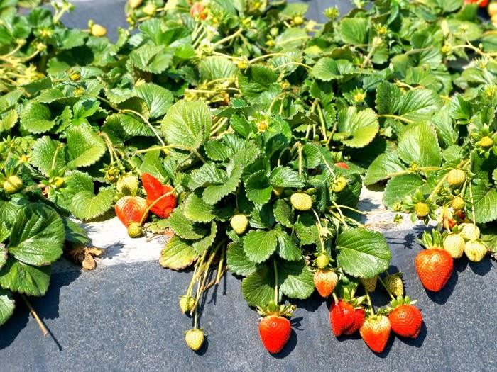 Strawberries growing on the vine // livingmividaloca.com #JustAddStrawberries