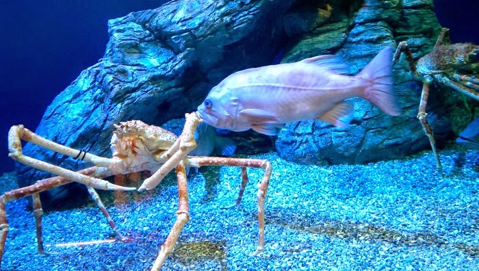 King Crab at Aquarium of the Pacific in Long Beach // LivingMiVidaLoca.com