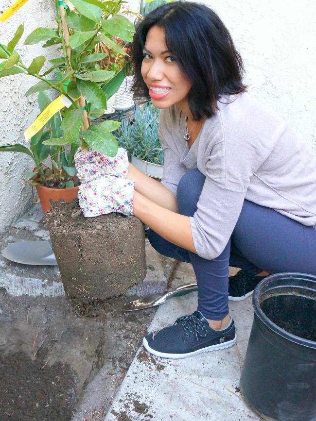 Planting a sweet lemon dwarf fruit tree