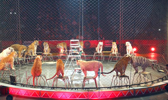 Tigers at Ringling Bros and Barnum and Bailey circus