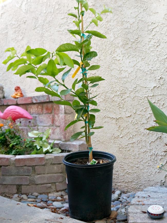 Sweet lemon dwarf tree