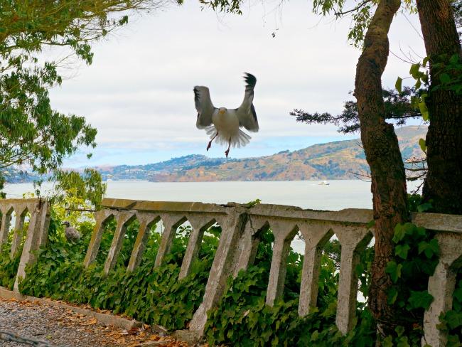 Bird landing on Alcatraz // livingmividaloca.com