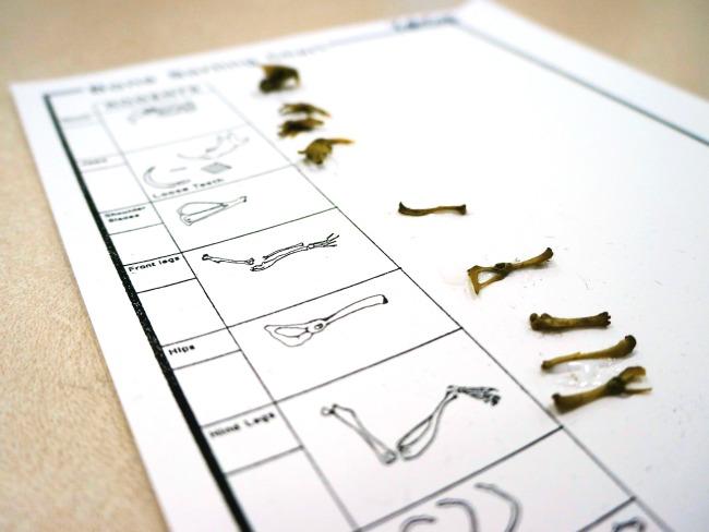 Bones in owl pellets // livingmividaloca.com