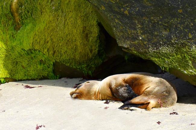 Seals at La Jolla Cove in California - LivingMiVidaLoca.com