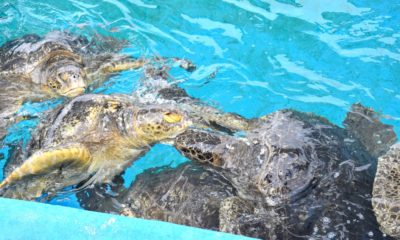 Green sea turtle at seaworld San Diego - livingmividaloca.com