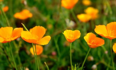 California poppy season