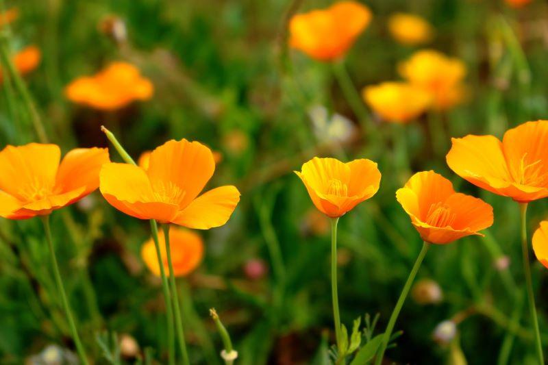 California poppy season