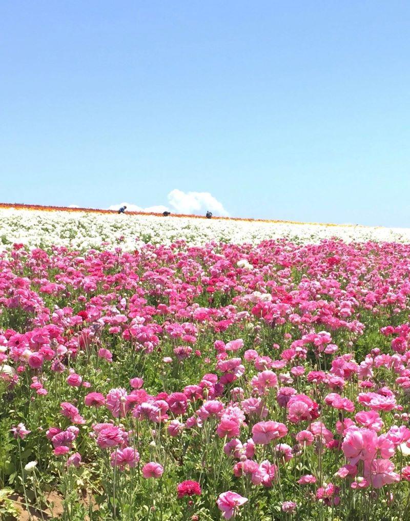 Flowers Fields in Carlsbad