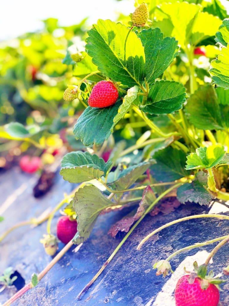 Strawberry Picking in Orange County at South Coast Farms - livingmividaloca.com
