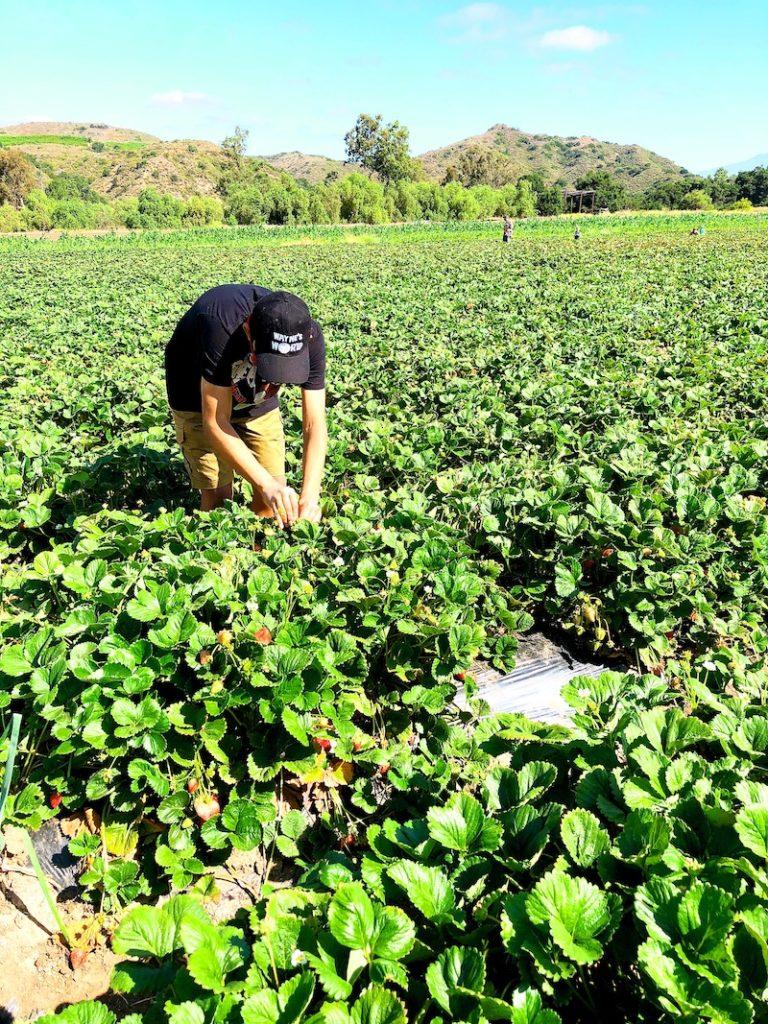 Strawberry Picking in San Clemente at South Coast Farms - livingmividaloca.com