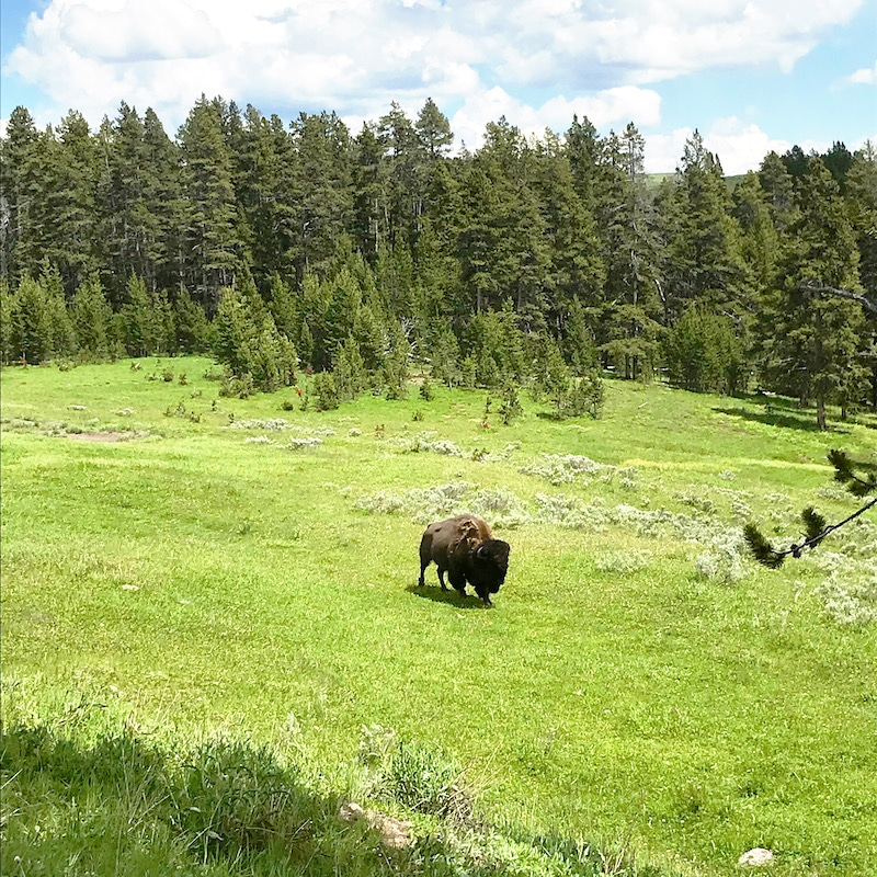 Bison at Yellowstone with kids and car camping along the way - livingmividaloca.com